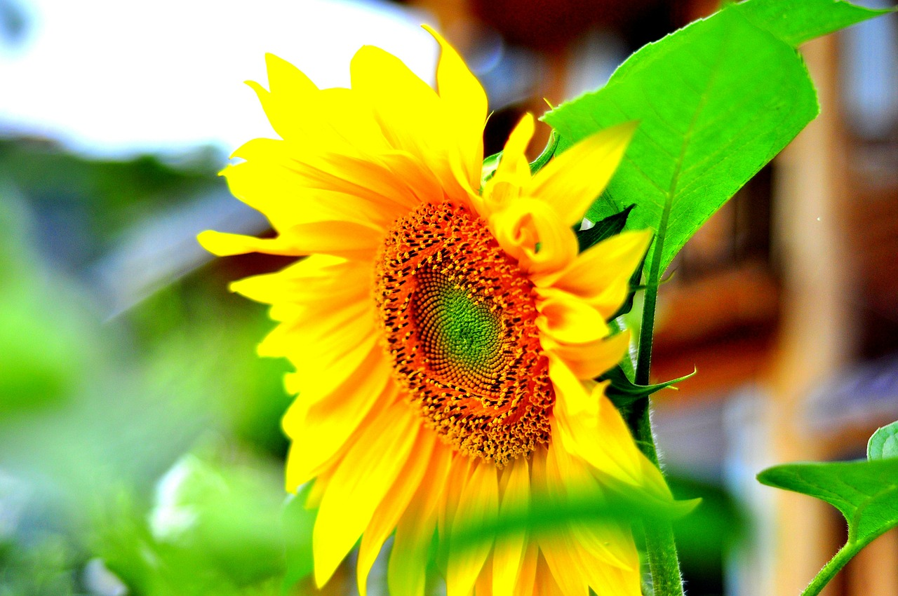 sunflower,views,fragrant flowers,free pictures, free photos, free images, royalty free, free illustrations, public domain
