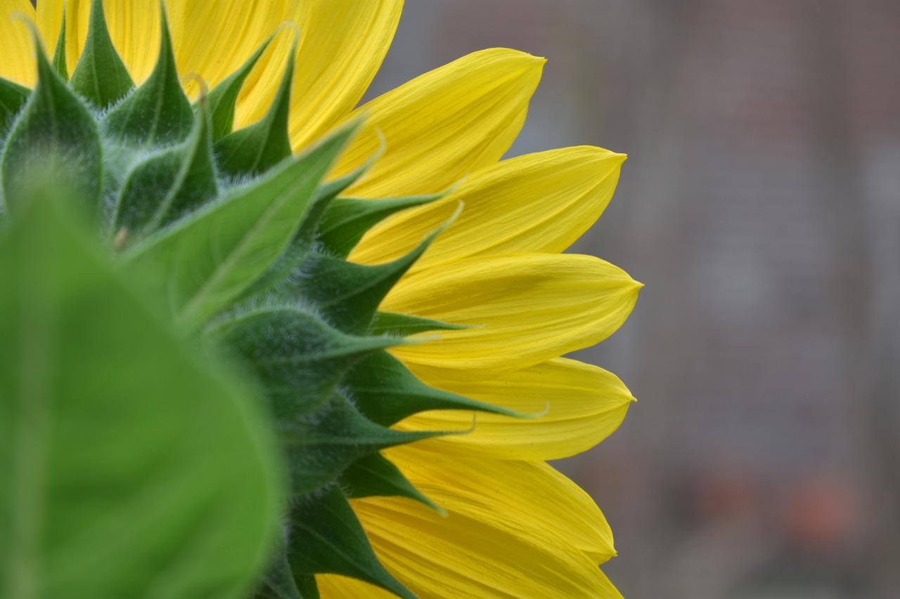 Sunflowerblossomyellowflowernature Free Photo From Needpix