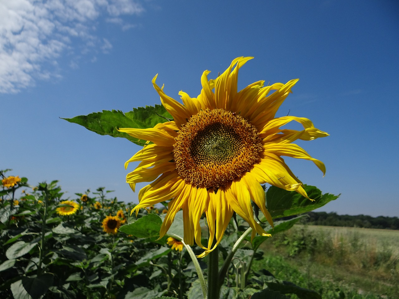 sunflower plant field free picture