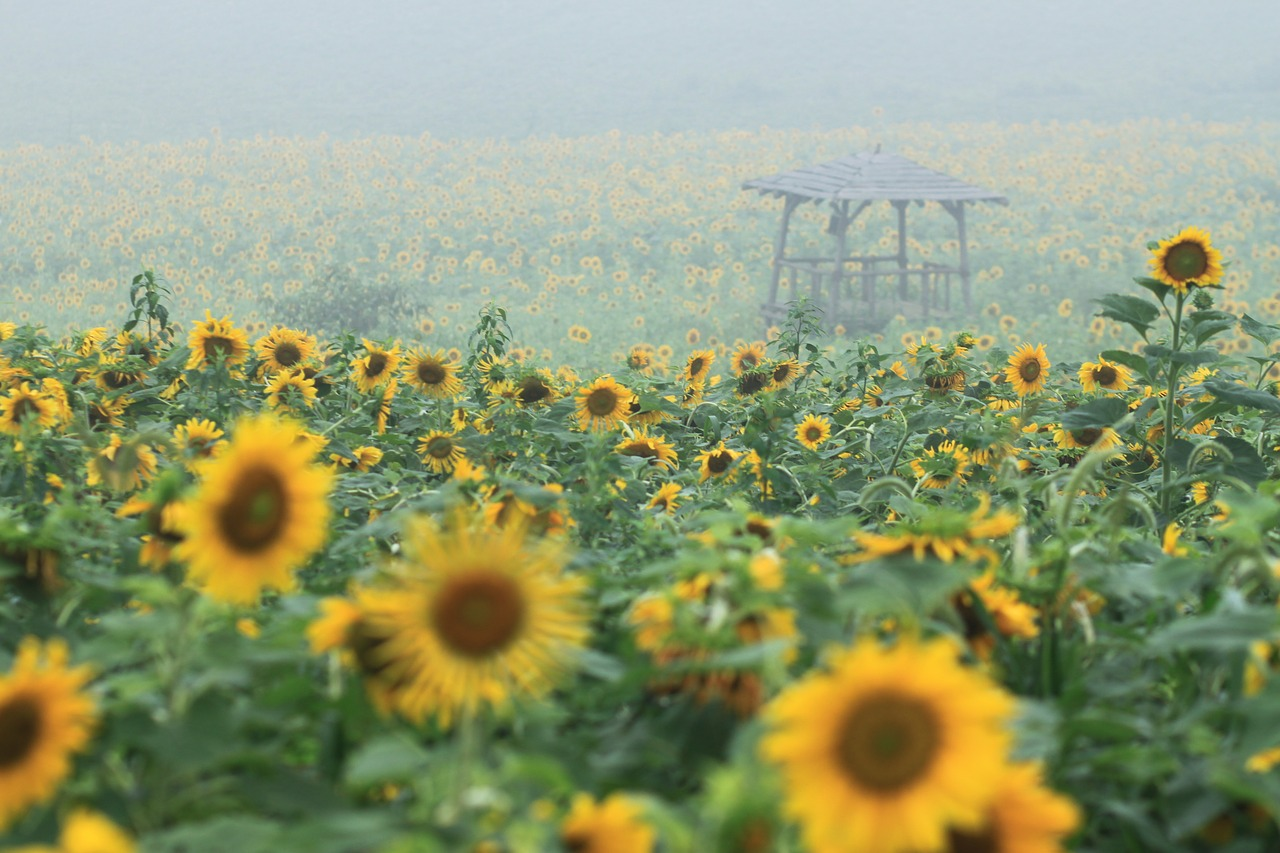 sunflower  sunflower fields  nature free photo