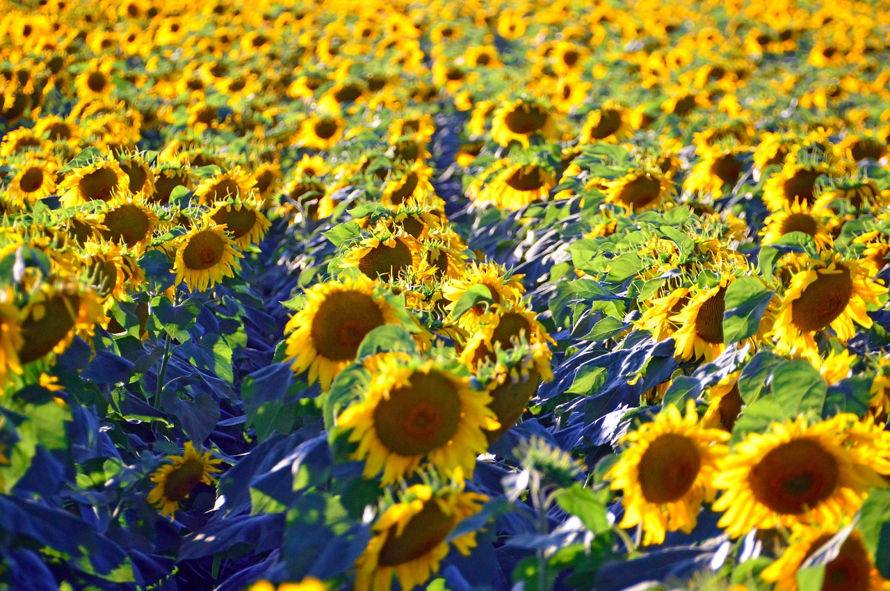sunflower  sunflower field  yellow free photo