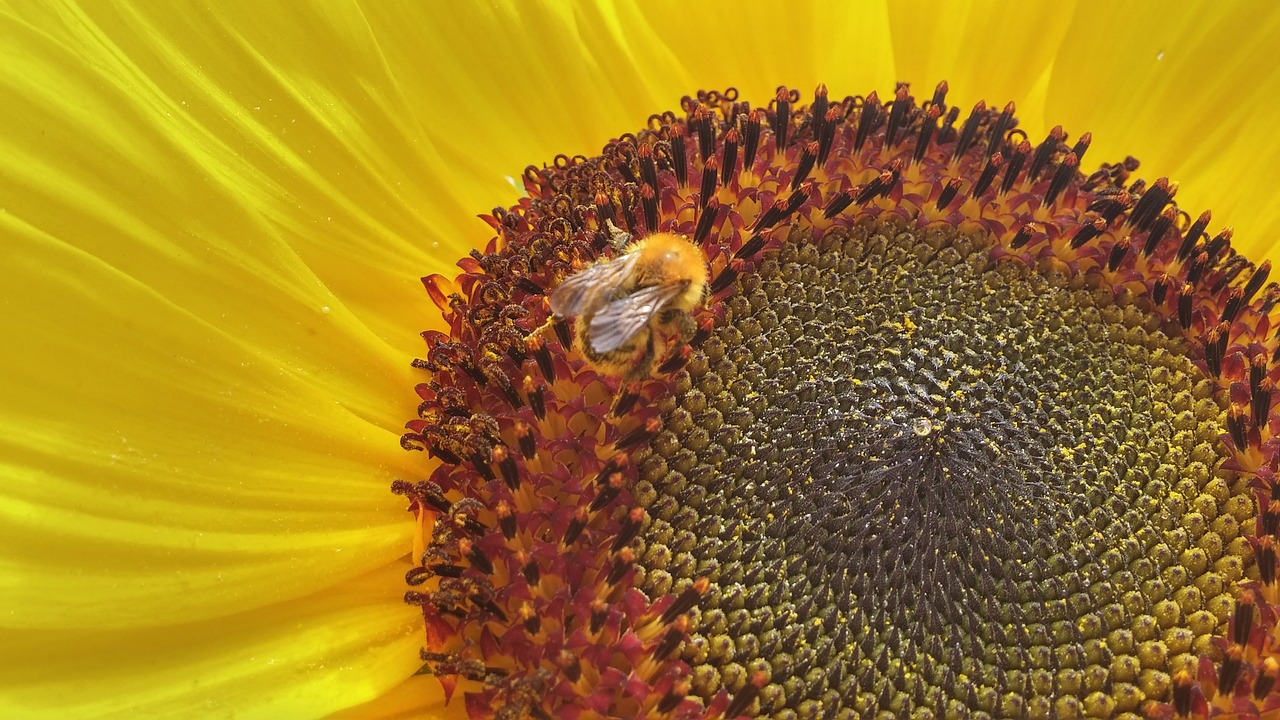 sunflower  bee  flower free photo