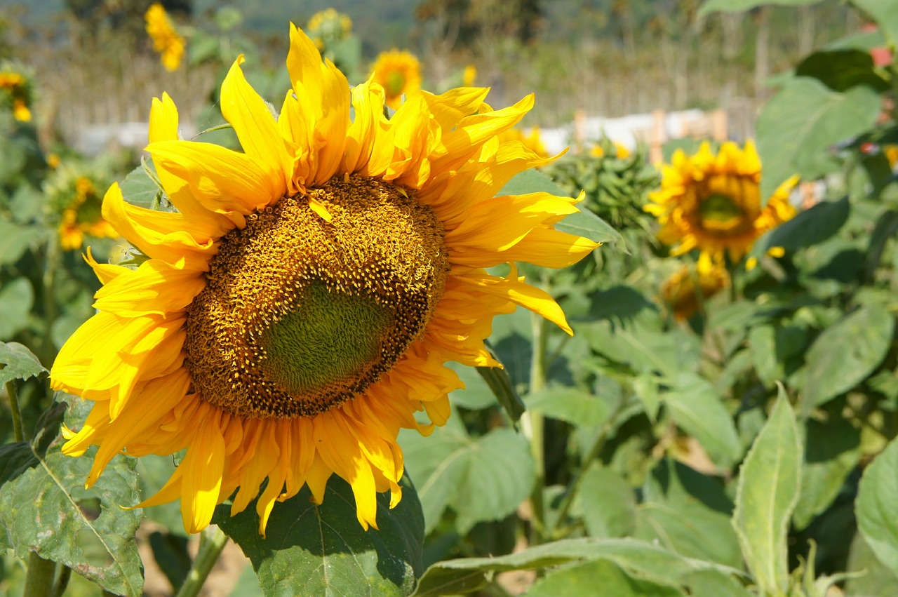 sunflower,plants,flower,yellow,summer,free pictures, free photos, free images, royalty free, free illustrations