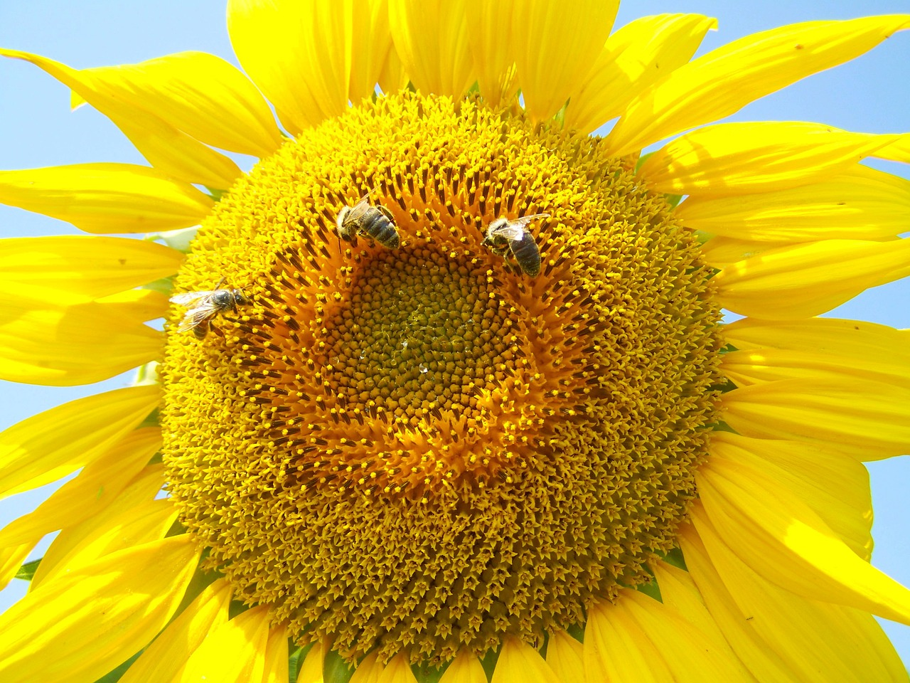sunflower yellow pollination summer free photo