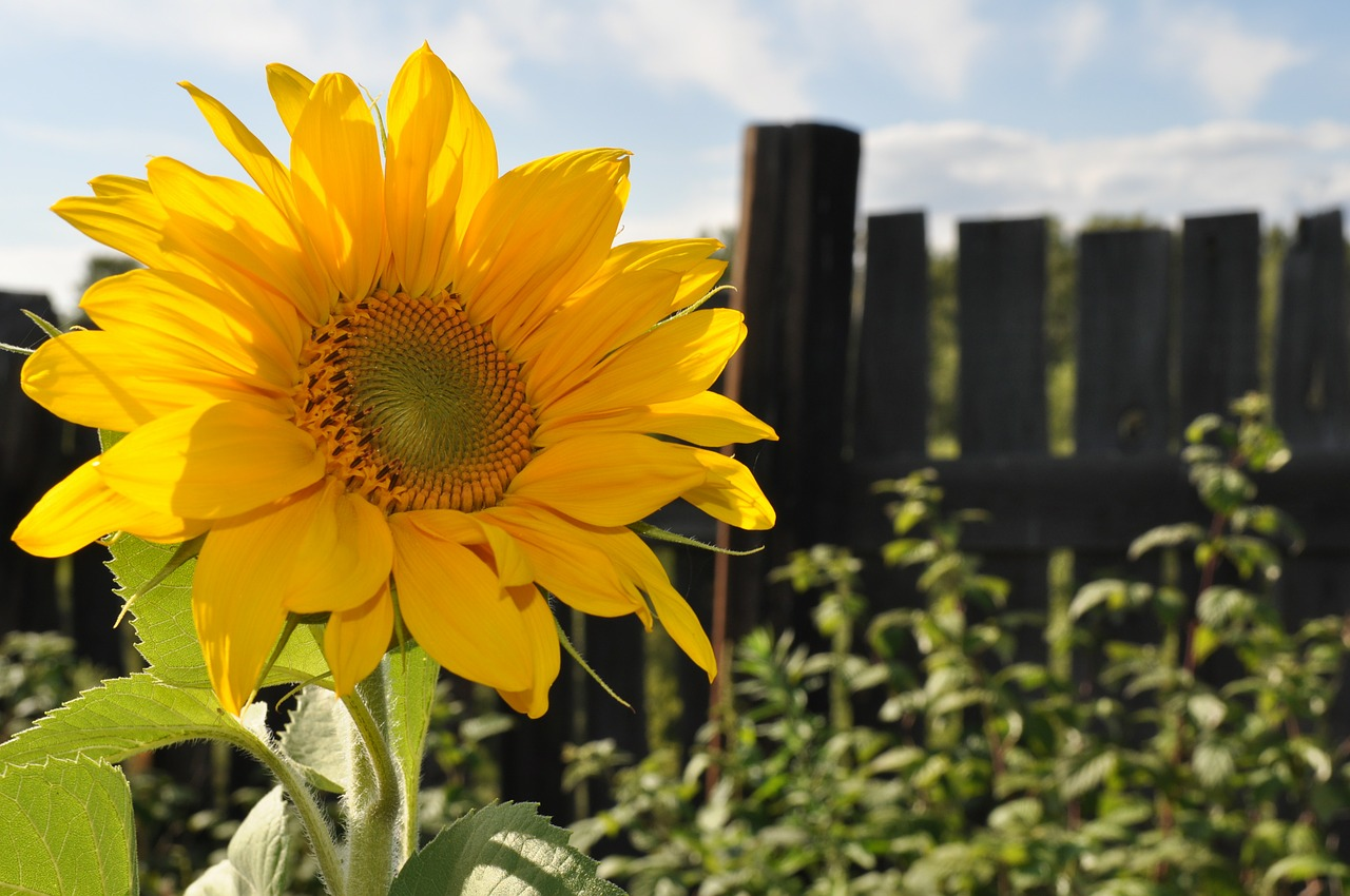sunflowers summer agriculture free photo