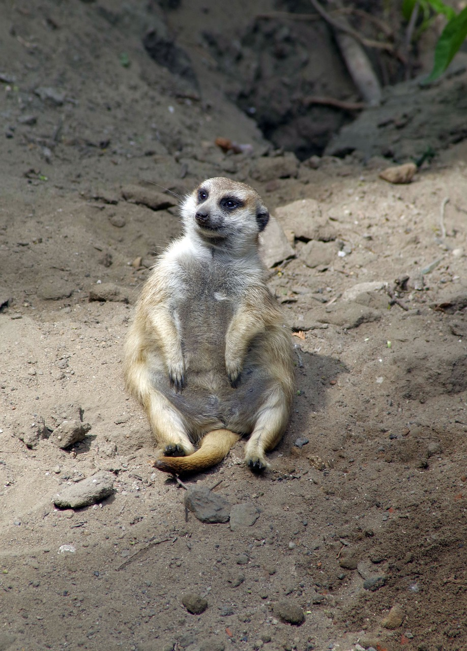 surykatka,sitting,funny,fun,pet,animal,zoo,zoological garden,mammal,rodent,free pictures, free photos, free images, royalty free, free illustrations, public domain