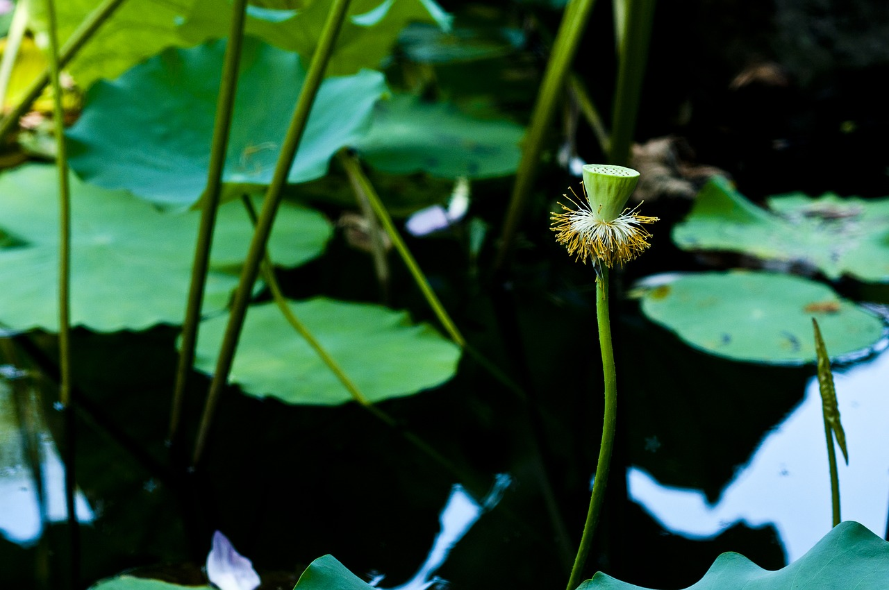 Suzhoustart Gardenhawthornlotus Leaflotus Root Free Photo From