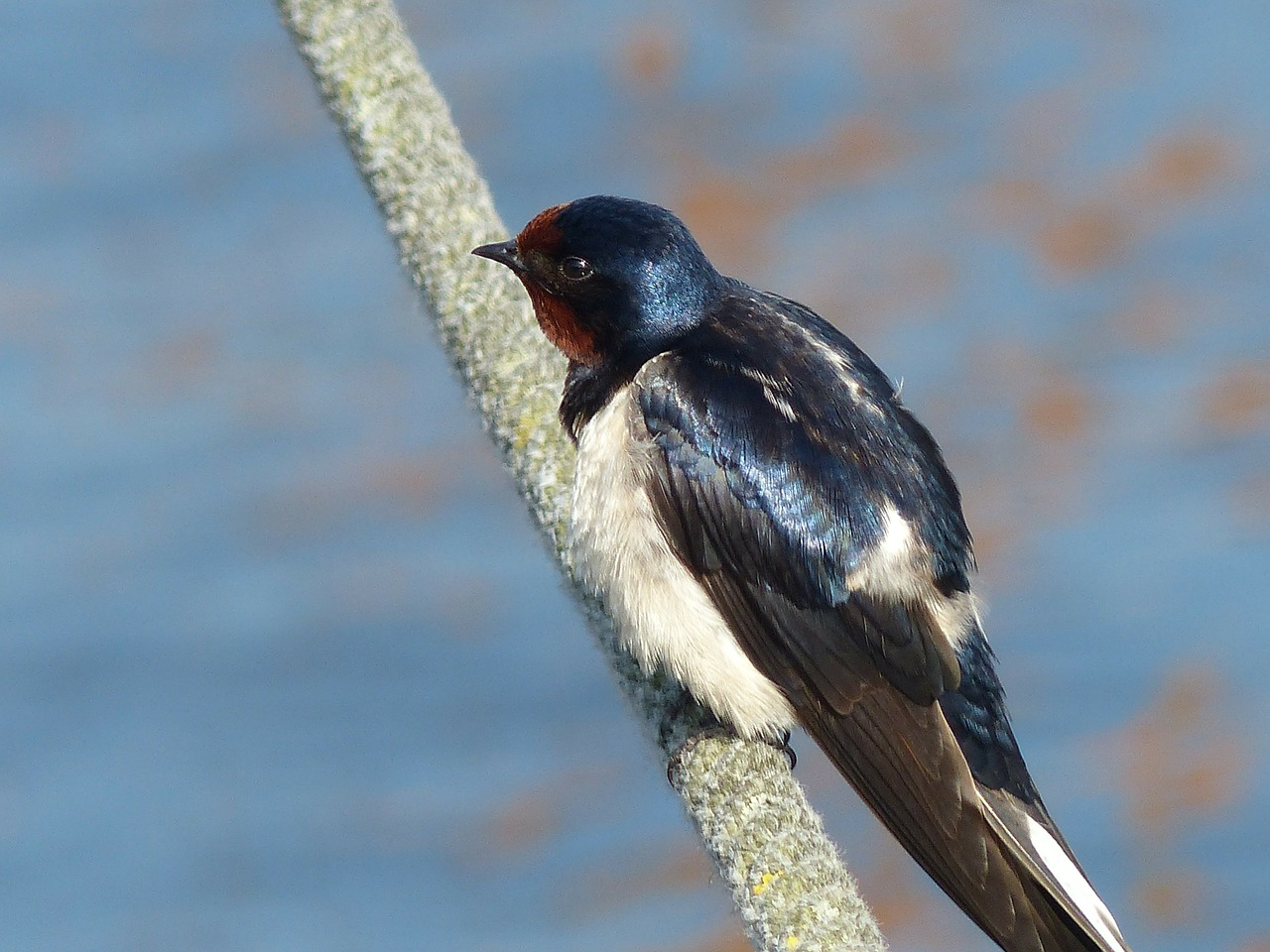 swallow young young swallow free photo