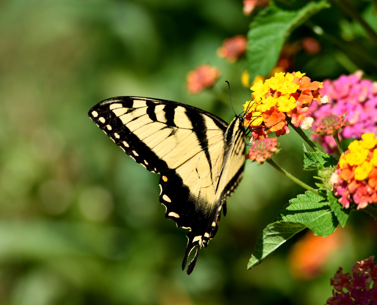 swallow tail butterfly insect free photo