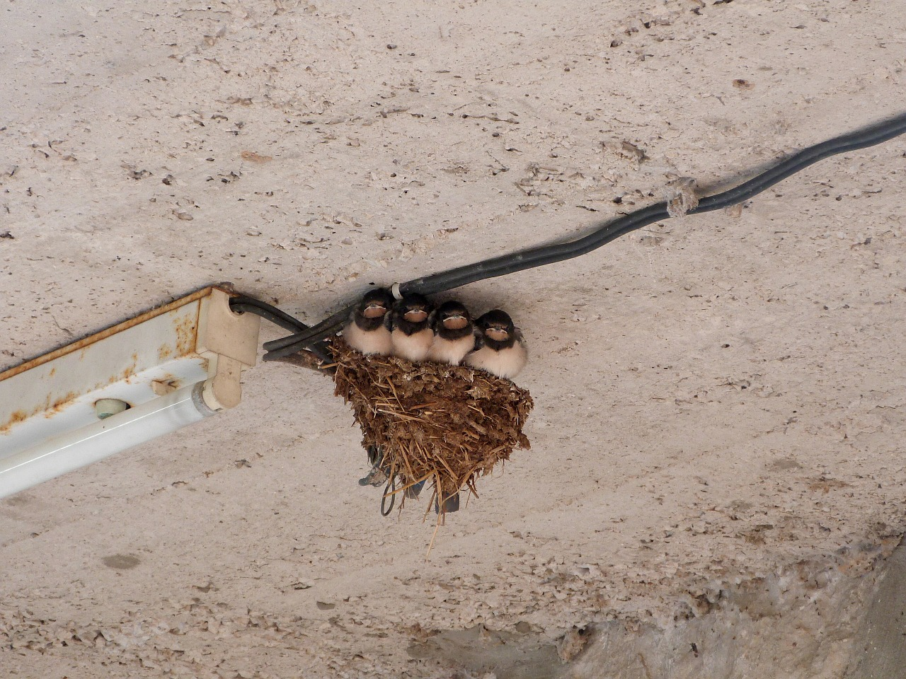 swallows bird nest free photo
