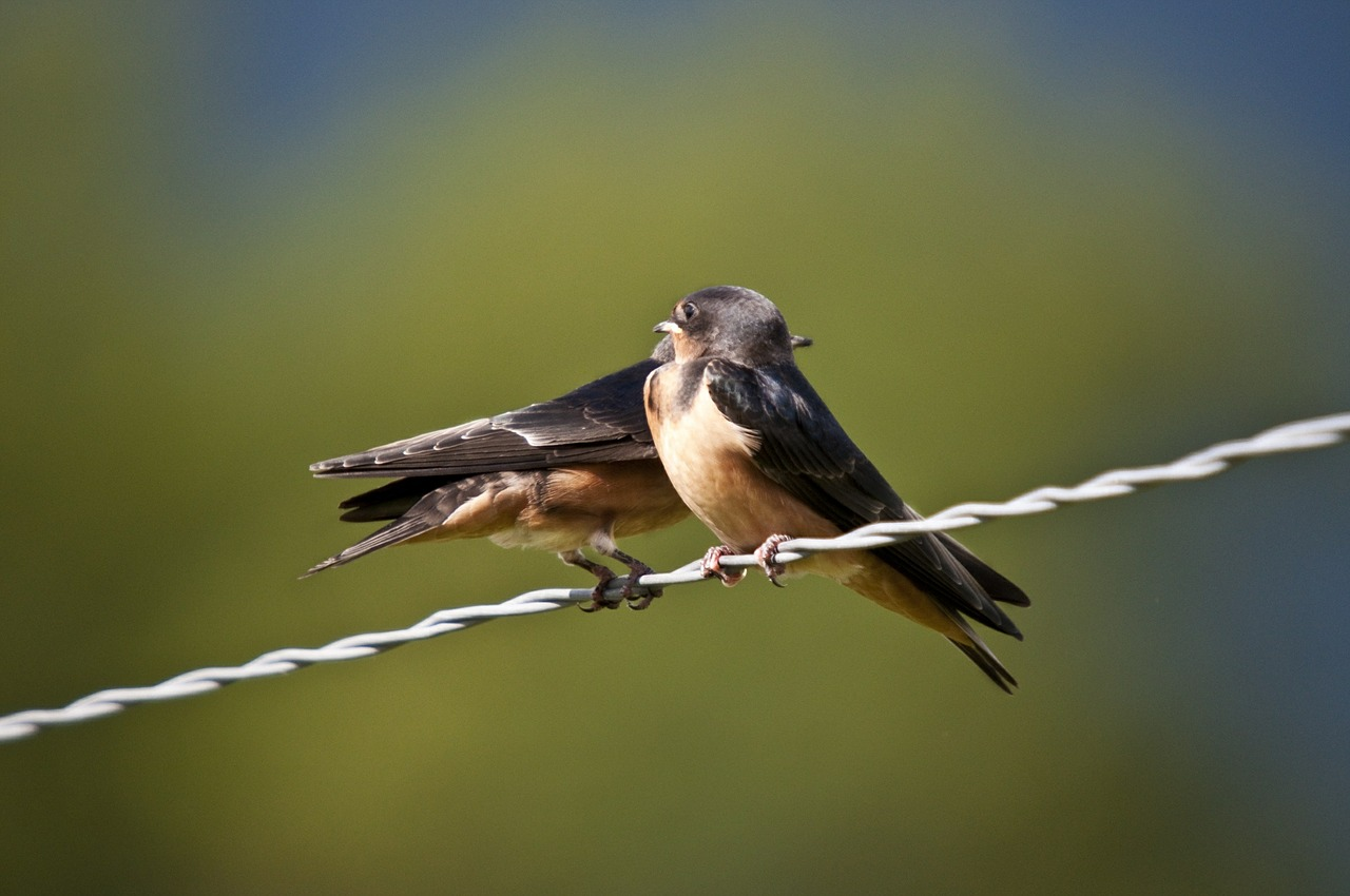 swallows birds fauna free photo