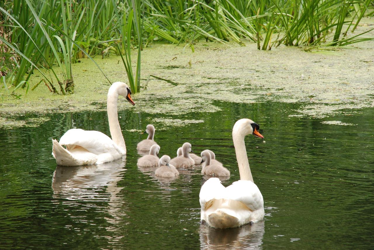 Картинки лебеди семья фото