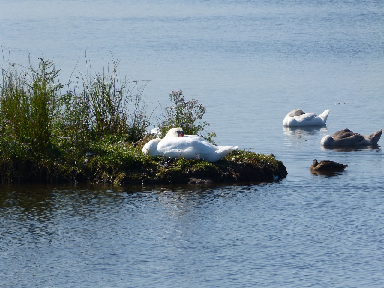 swan,baltic sea,geltinger bakshi,free pictures, free photos, free images, royalty free, free illustrations, public domain