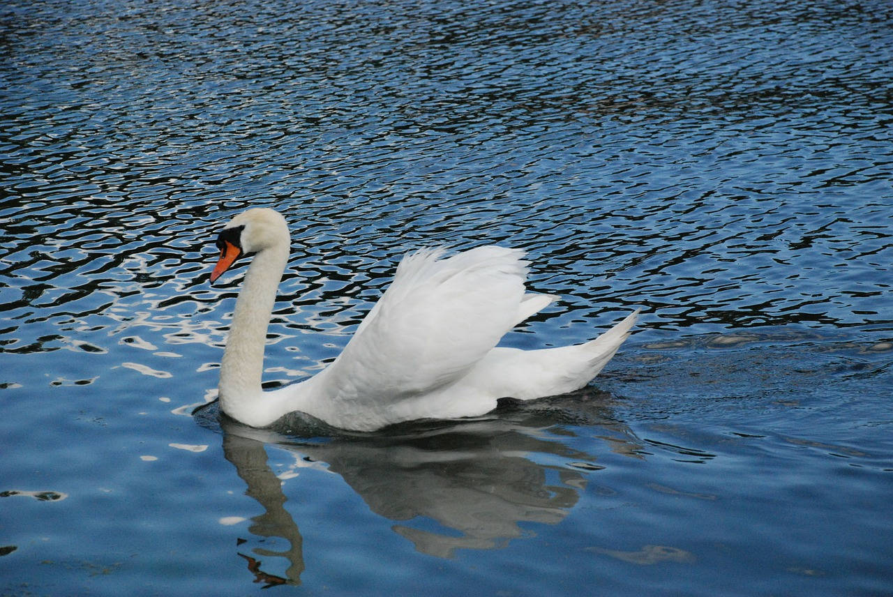 swan animal white free photo