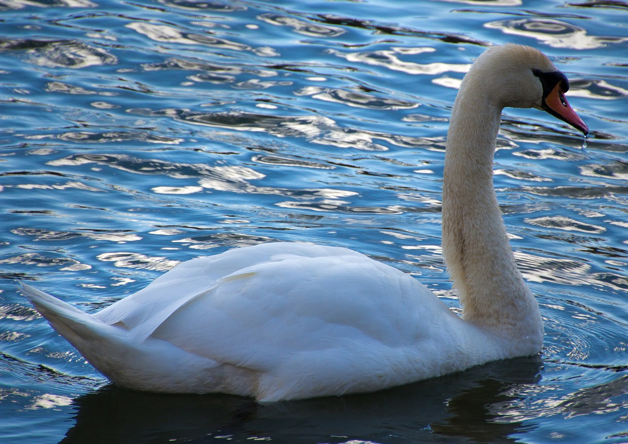 swan,donald,water,waters,sparkle,animal,gooseneck,nature,free pictures, free photos, free images, royalty free, free illustrations, public domain