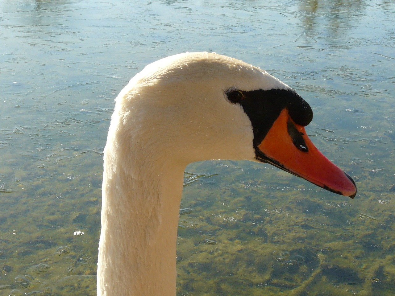 swan gooseneck bill free photo