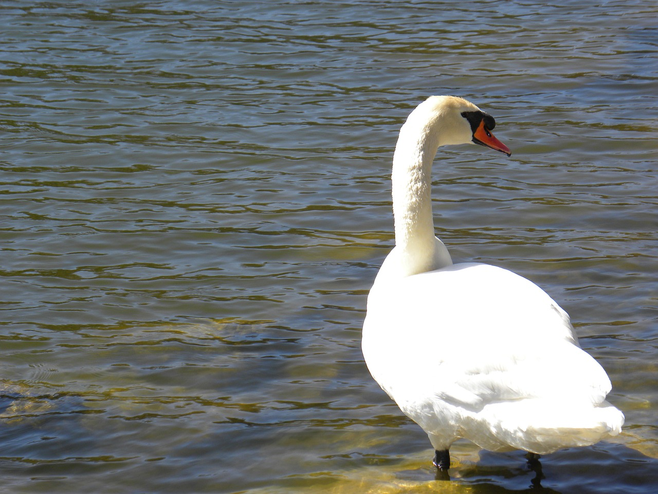 swan pond water free photo