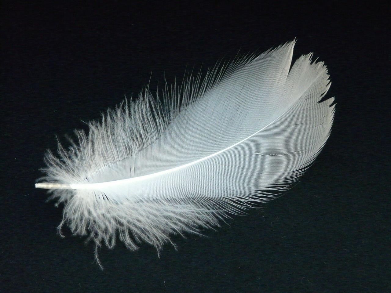 swan feather feather swan free photo