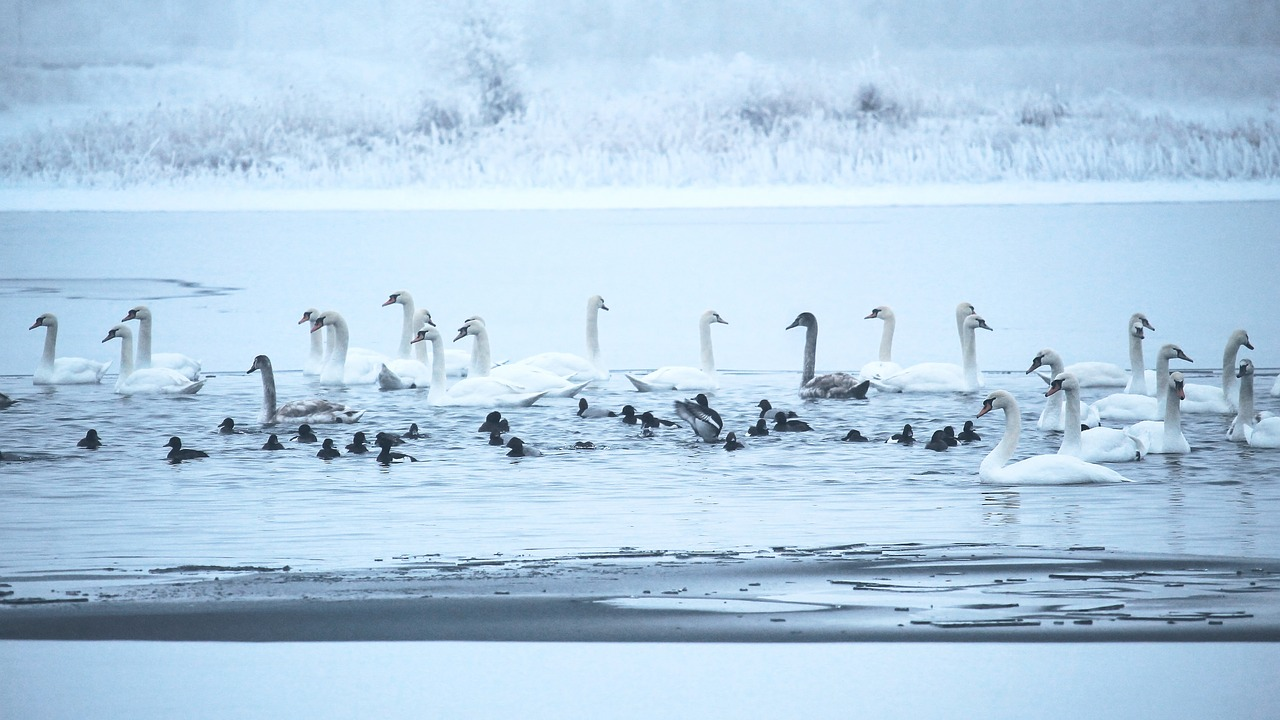 swans winter lake free photo