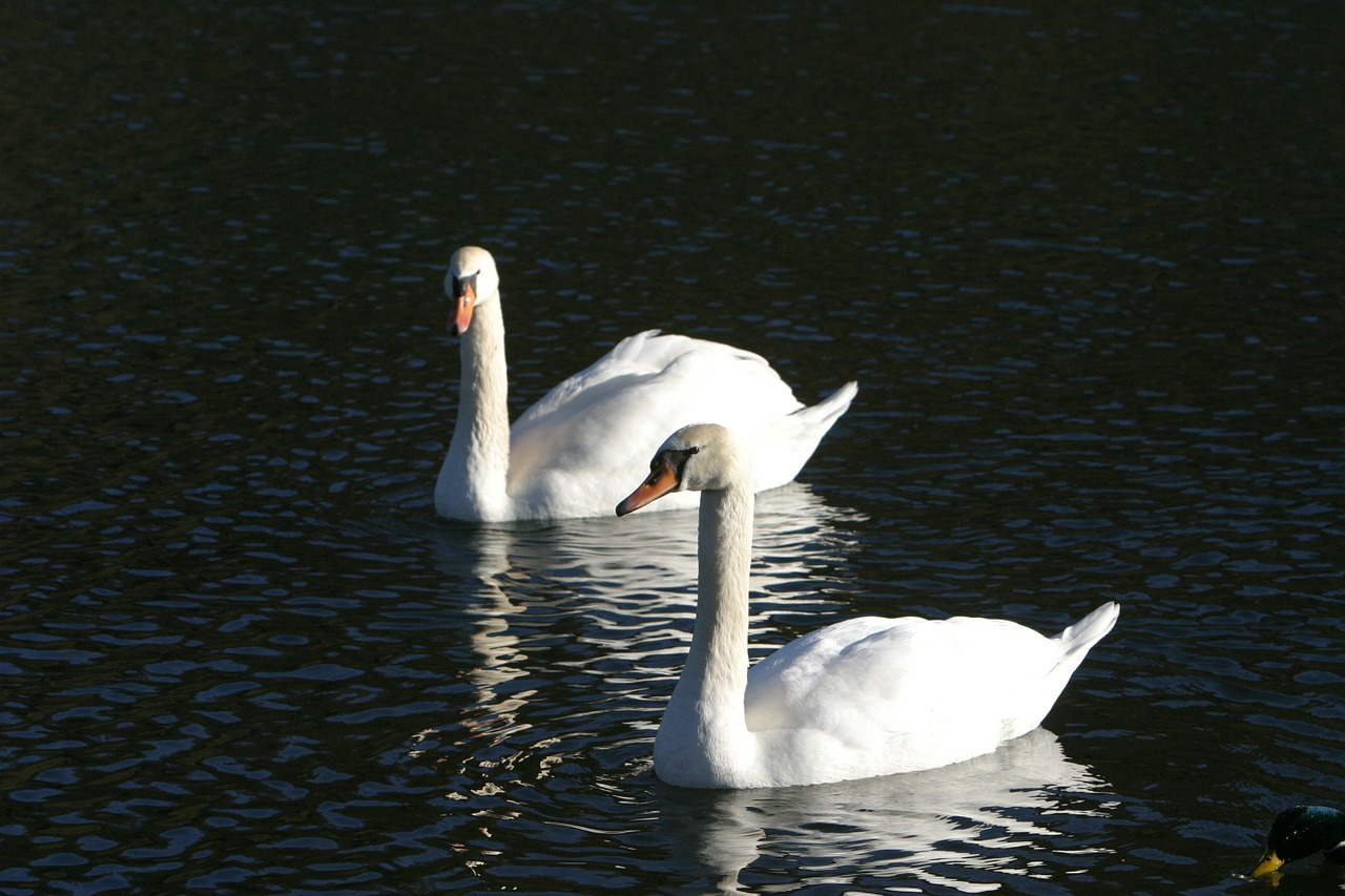 swans water altmühl free photo