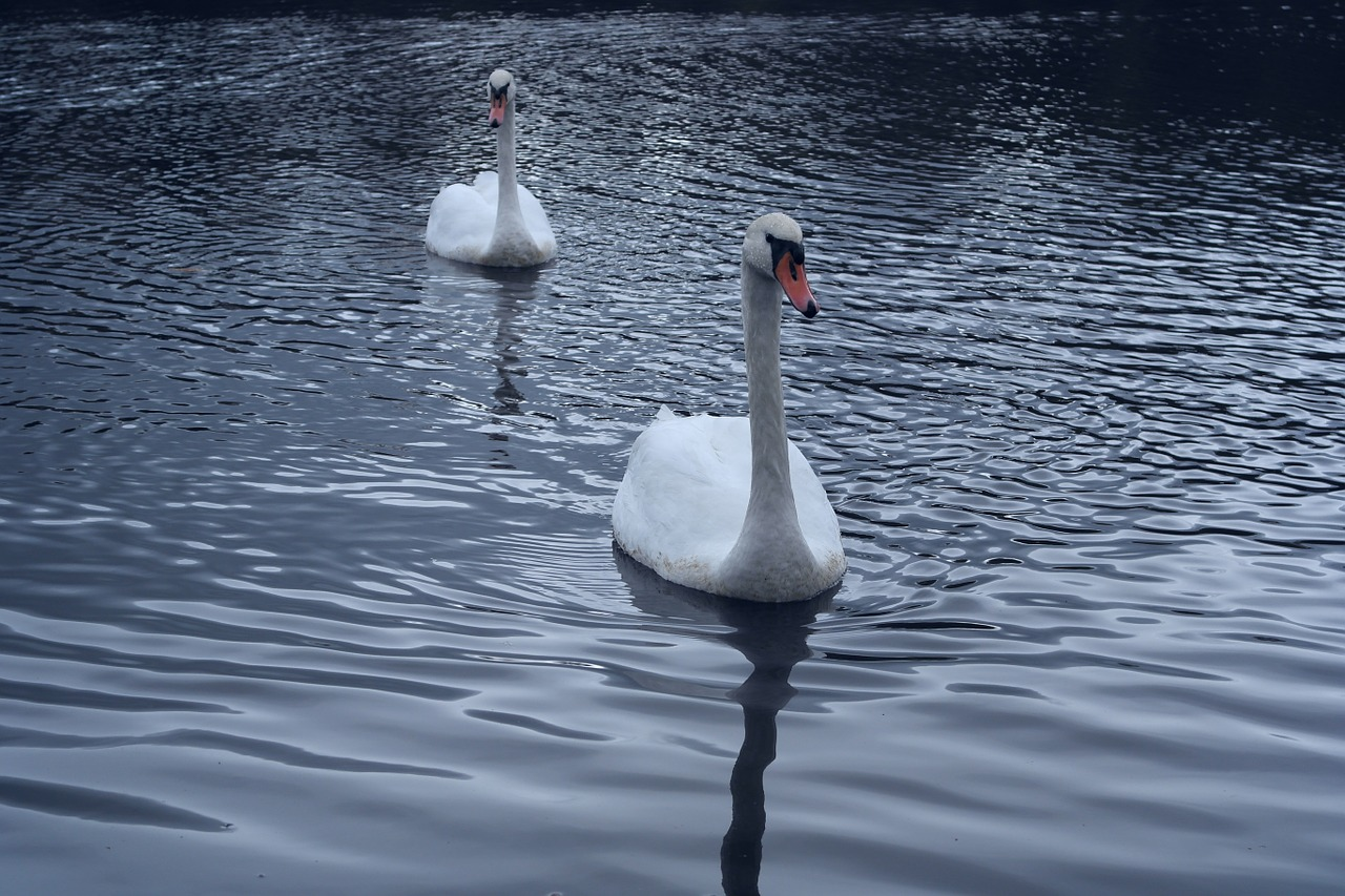 swans direct view bird free photo