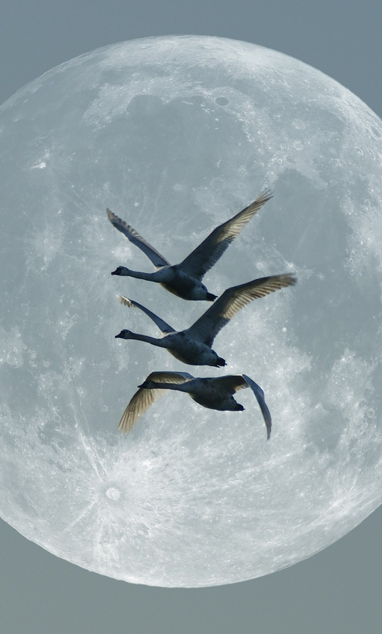swans moon moonlight free photo