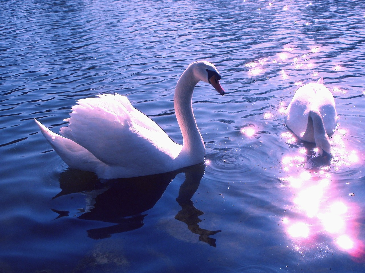 swans birds lake free photo