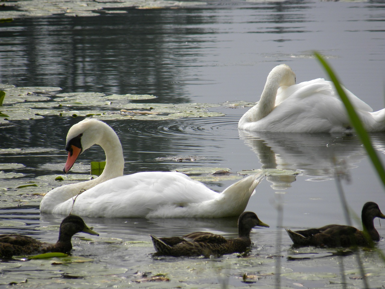swans pond water free photo