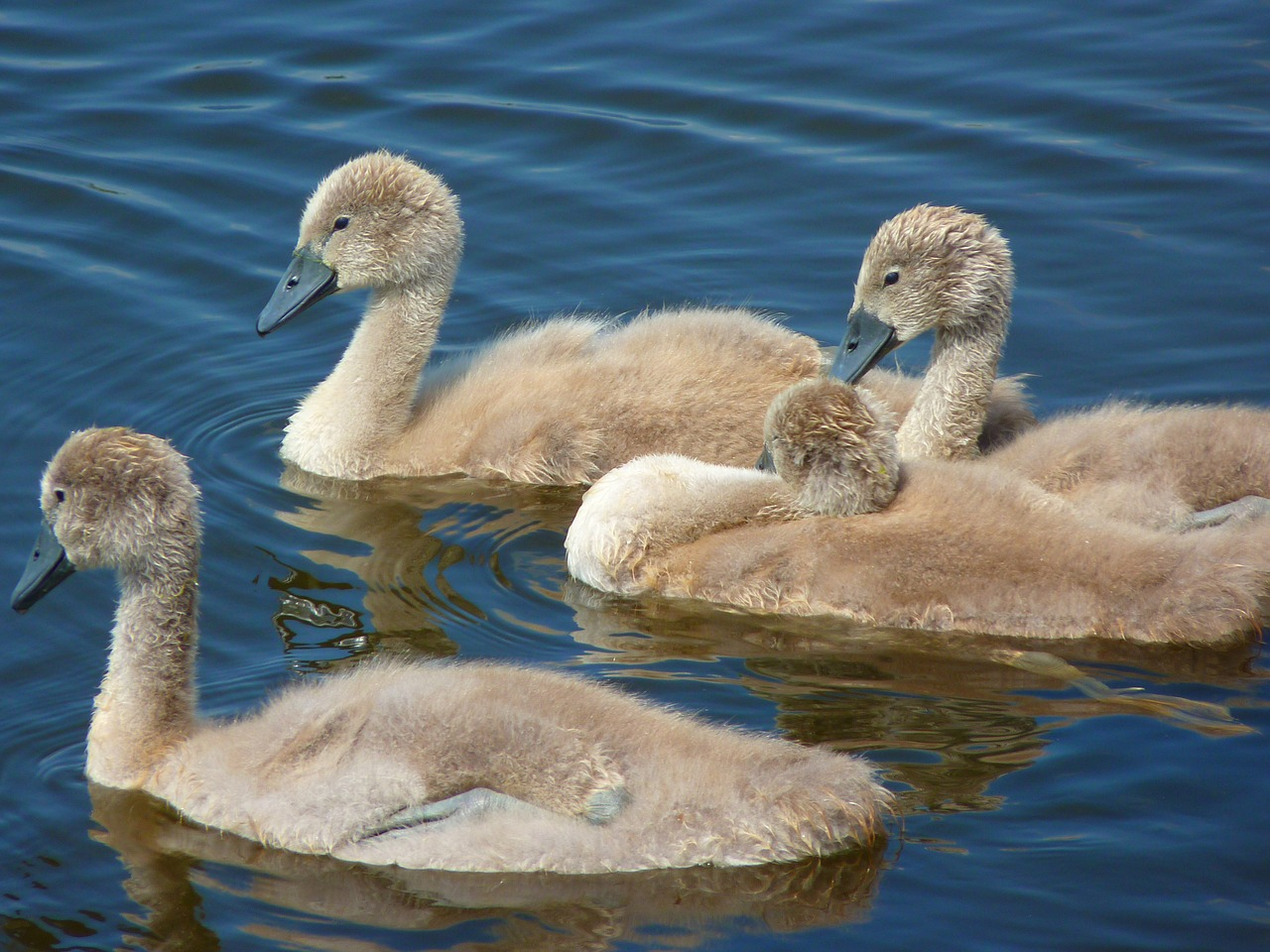 swans chicks young animals free photo