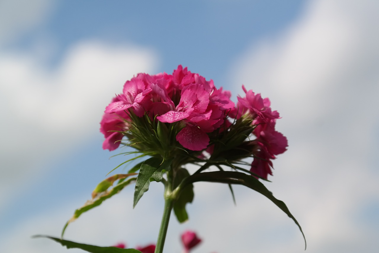 sweet william inflorescence blossom free photo