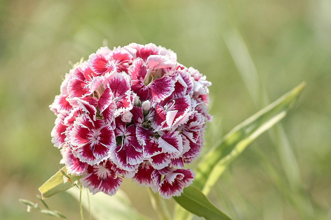 sweet william  dianthus barbatus  pink free photo