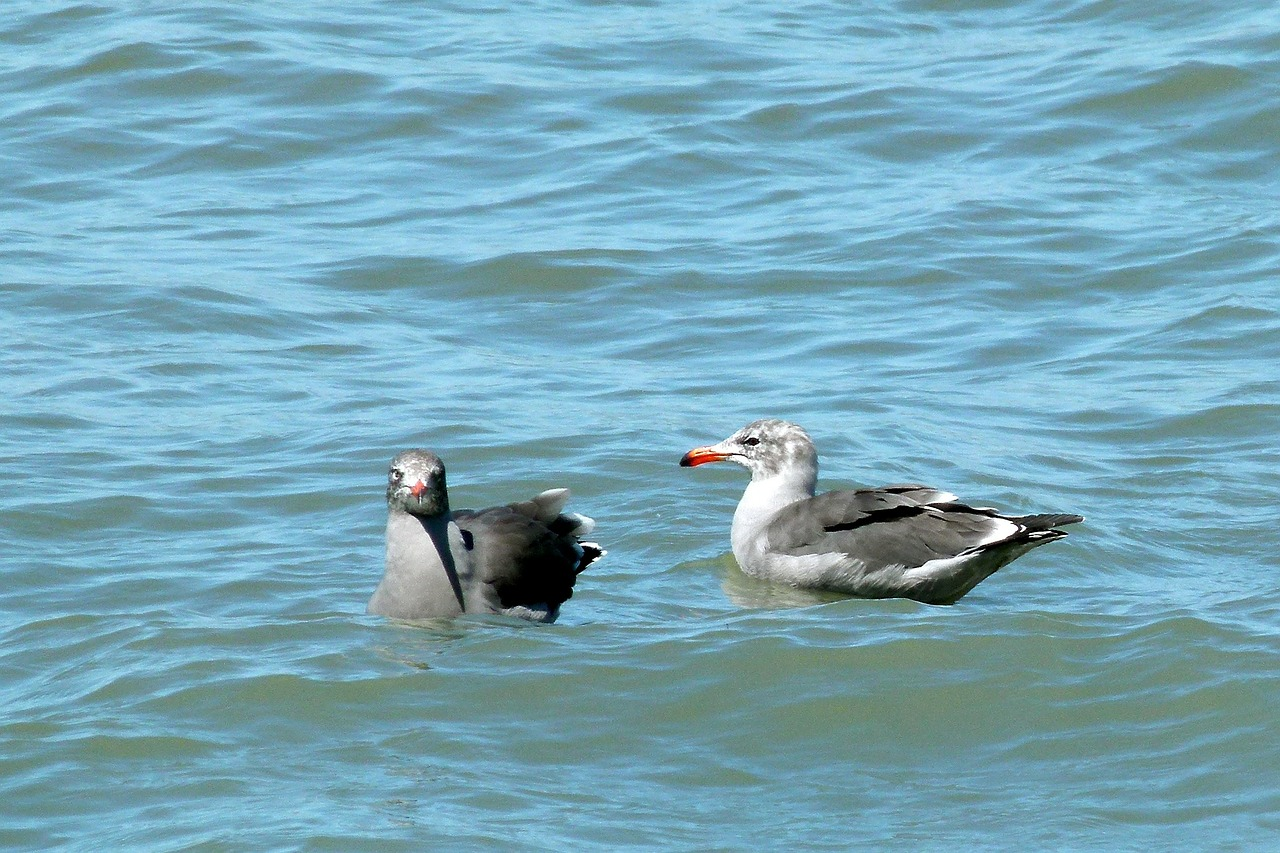 swimming seagulls pacific free photo
