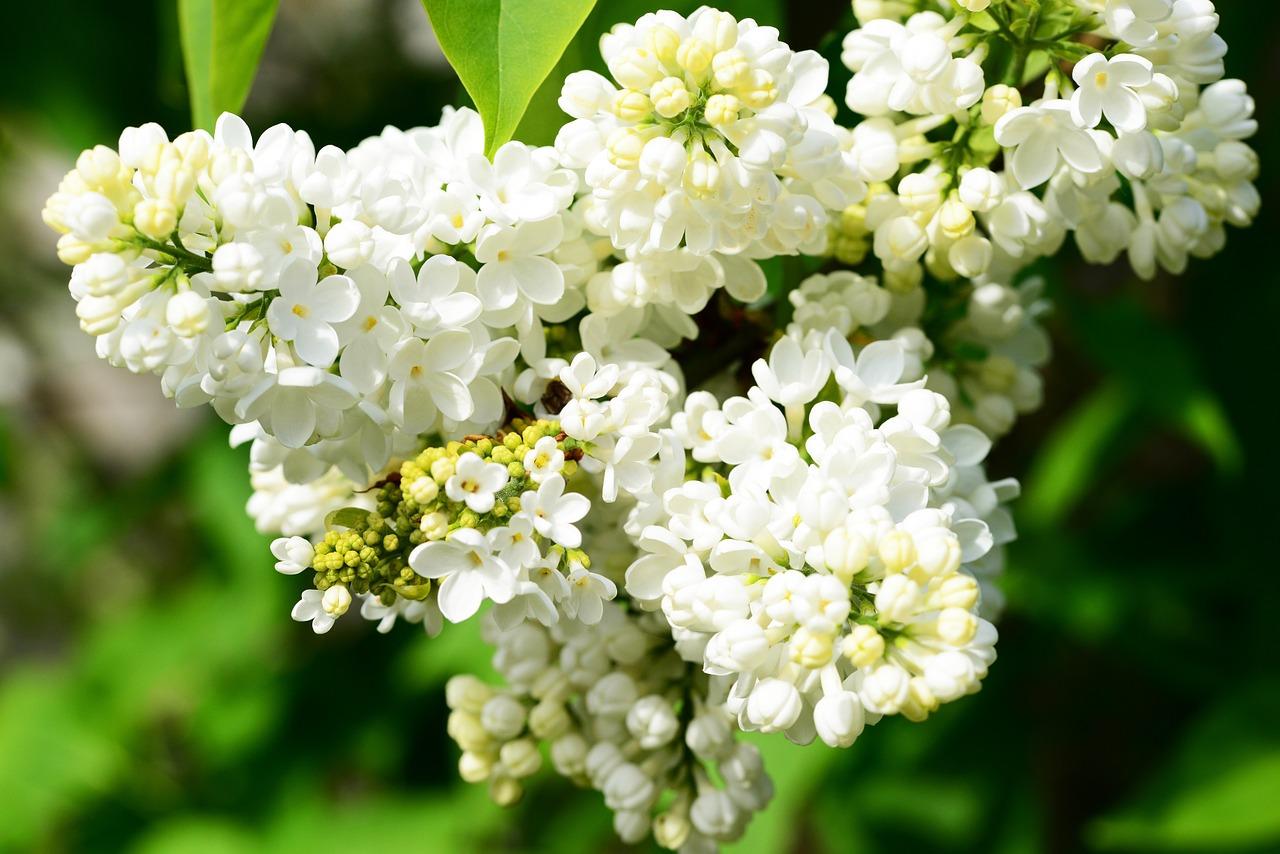 Syringa Vulgariswhite Lilaclilacflowerbuds Free Photo From