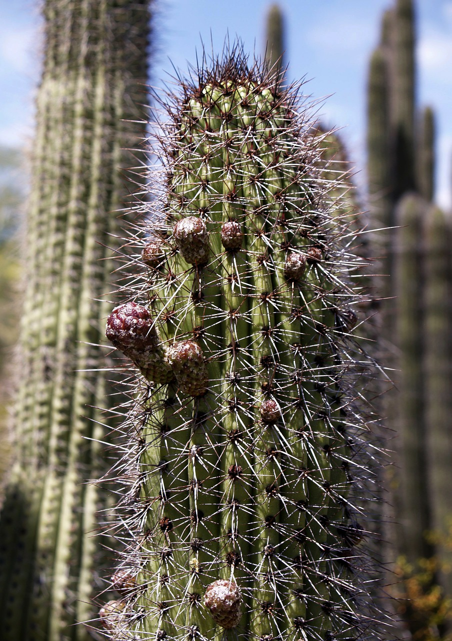 tall cactus plant free photo