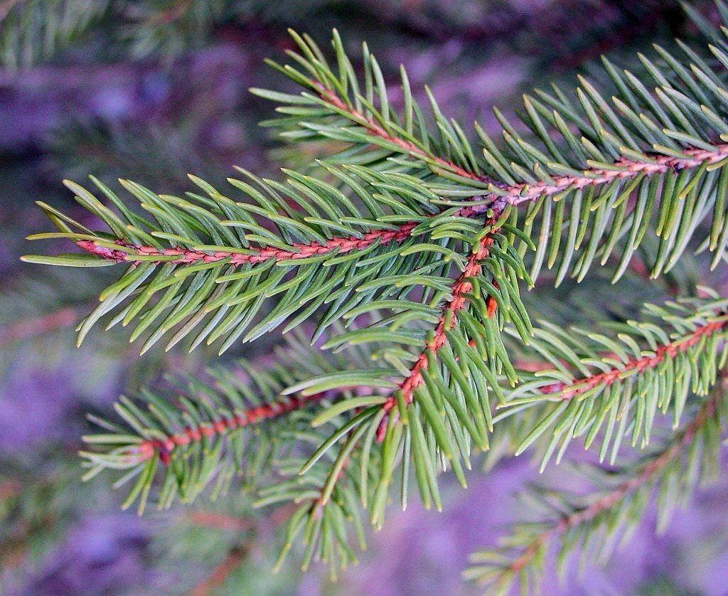 tannenzweig,pine needles,needles,branch,conifer,free pictures, free photos, free images, royalty free, free illustrations, public domain