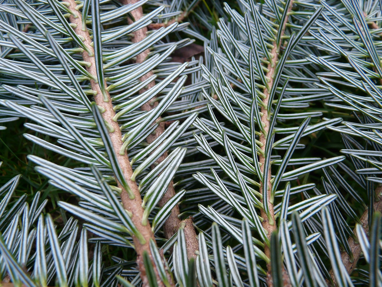 tannenzweig pine needles fir free photo