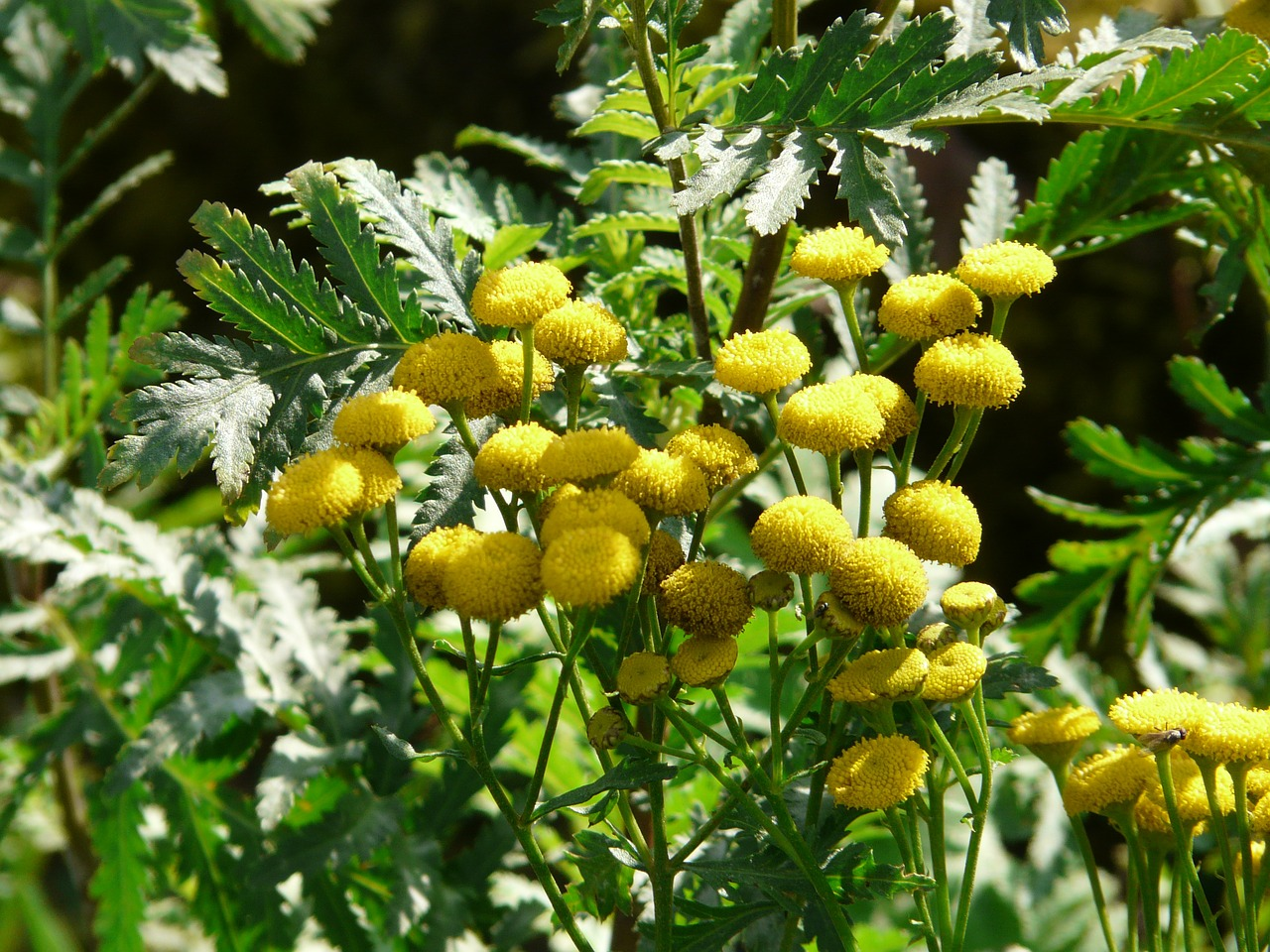 tansy flower blossom free photo