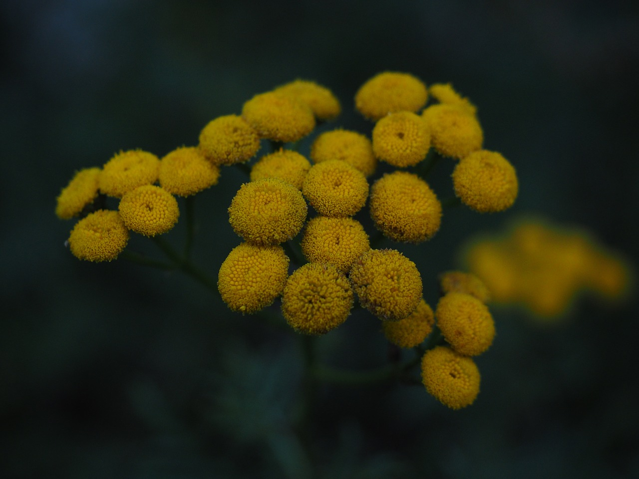 tansy flowers yellow free photo