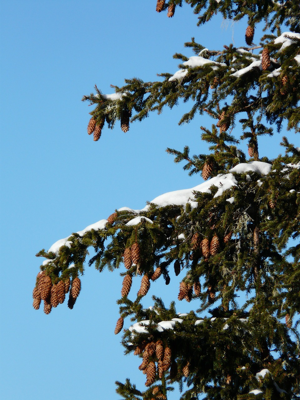 tap pine cones spruce free photo