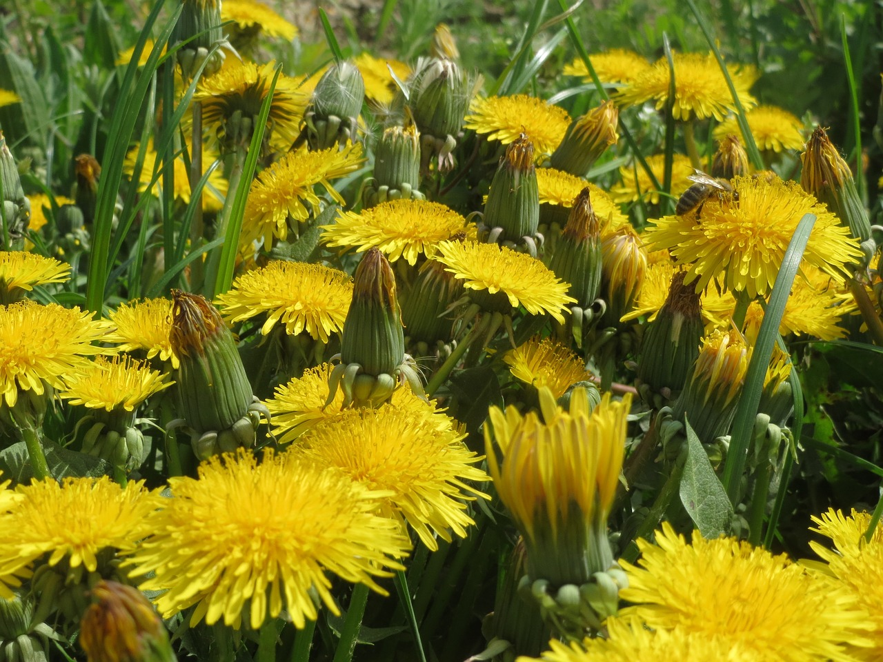 taraxacum sect ruderalia dandelion wildflower free photo