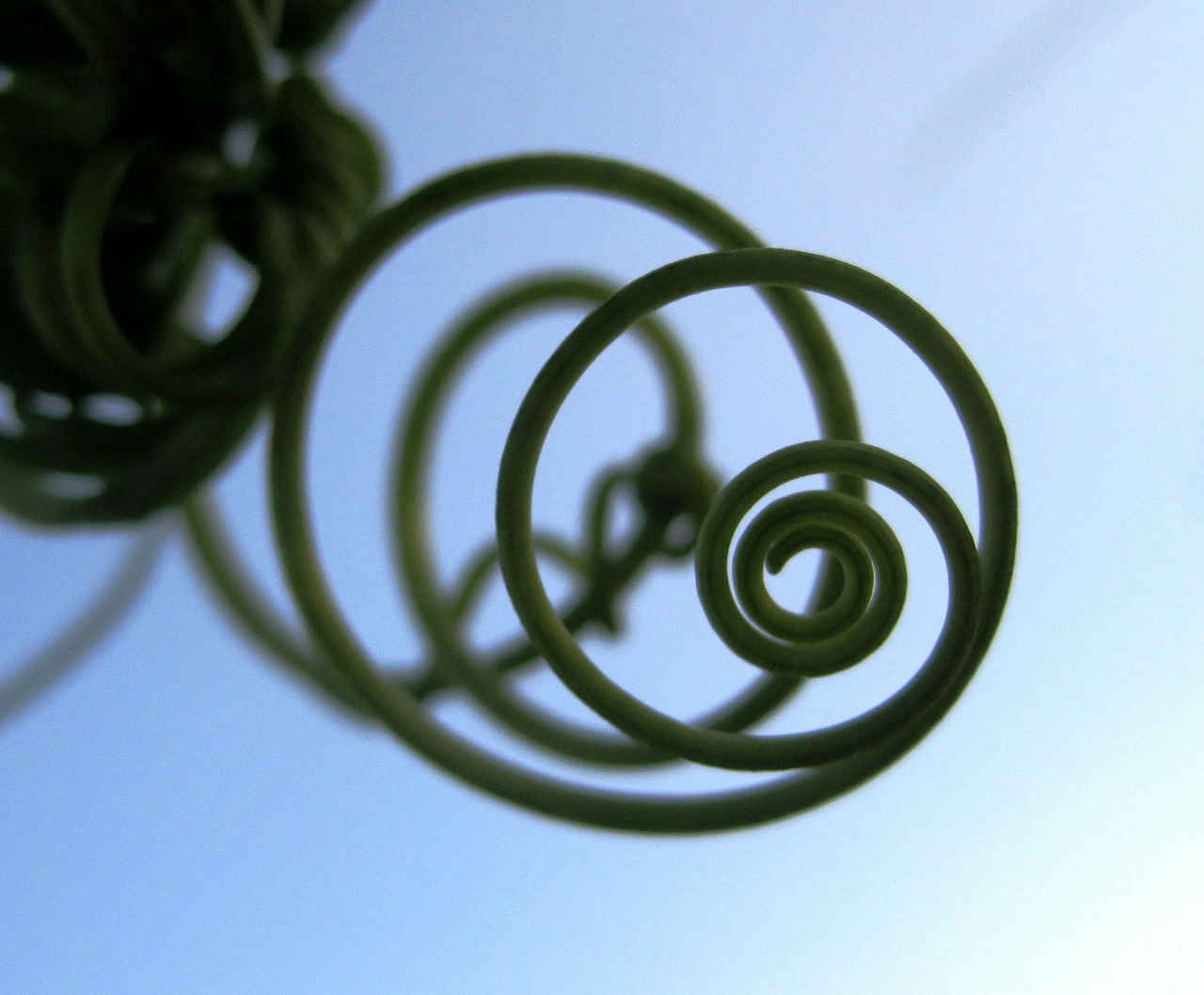 tendril climber spiral free photo
