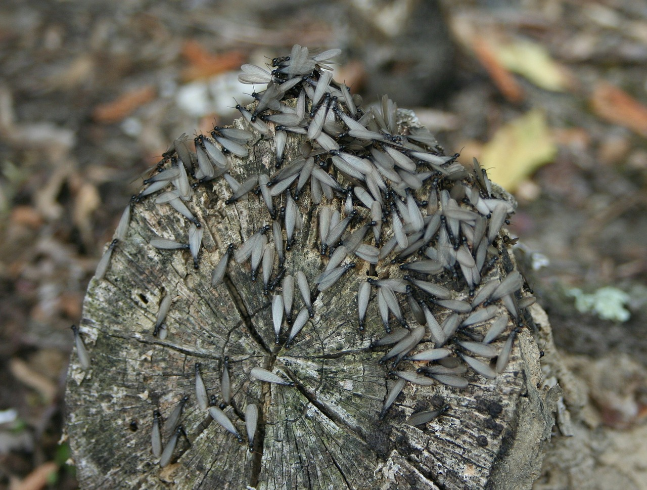 termites wings insects free photo