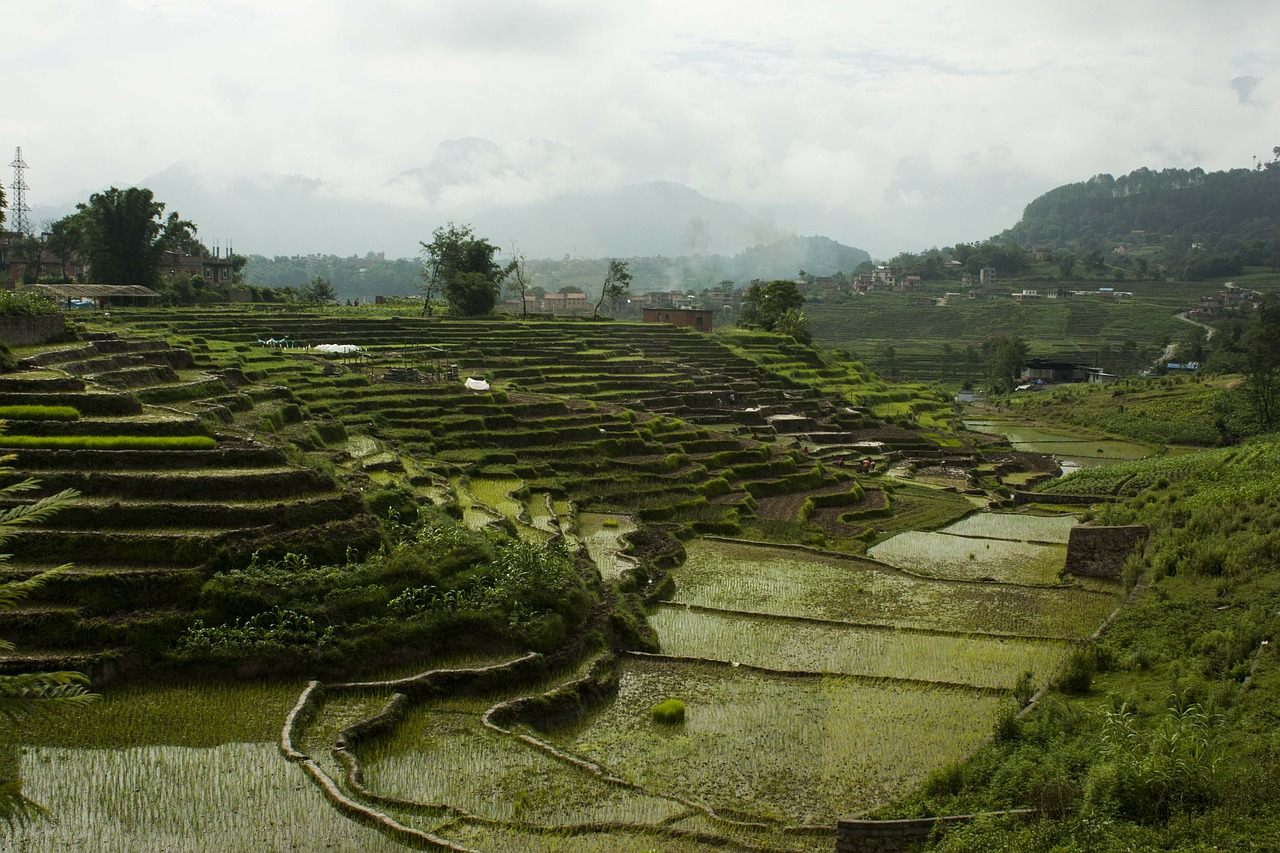 terrains rice rice field free photo