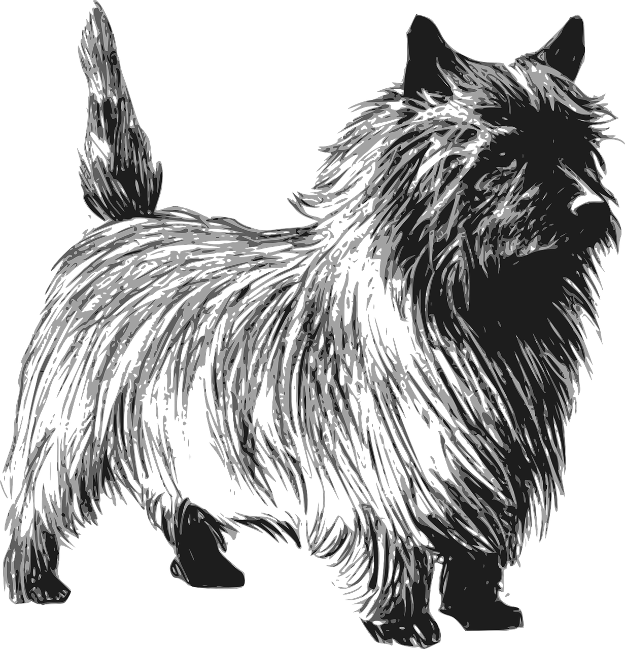 terrier,dog,pet,cairn,breed,animal,friend,doggy,domestic,training,purebred,puppy,obedient,pedigree,pedigreed,companion,mutt,pooch,furry,buddy,pal,best friend,free vector graphics,free pictures, free photos, free images, royalty free, free illustrations, public domain