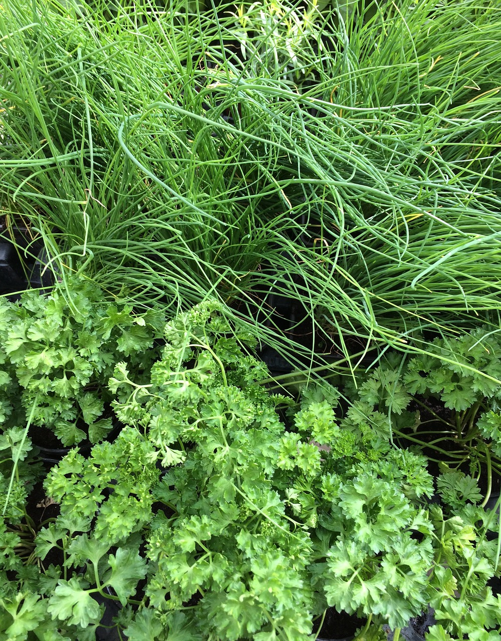 PARSLEY CHIVES VEGETABLE FRESH GREEN FREE PHOTO FROM
