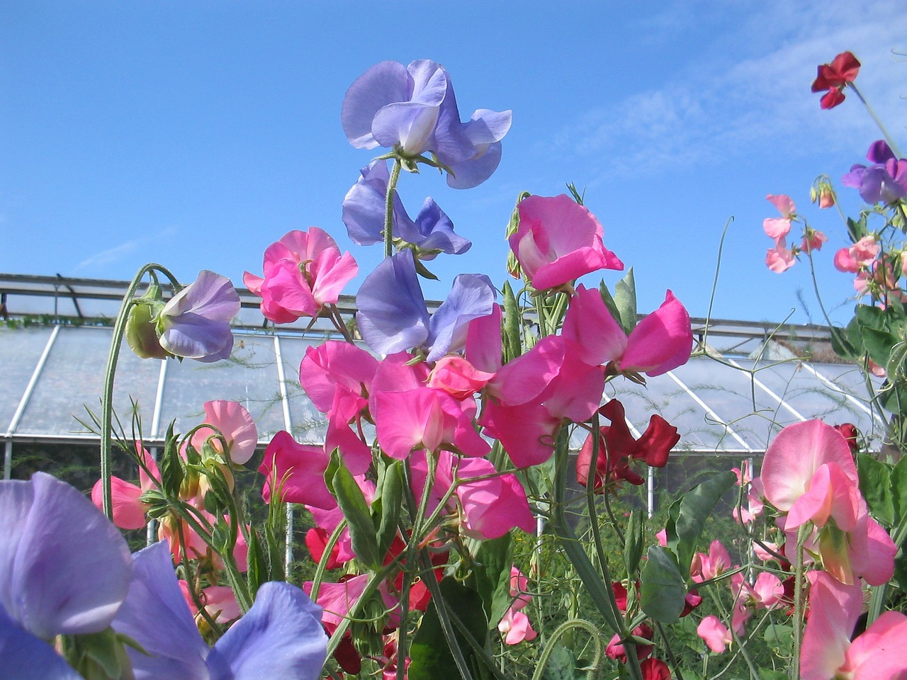 the valleys sweet pea flowers free photo