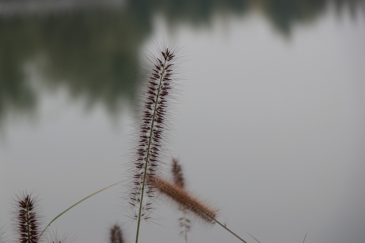 the water reed flower free photo