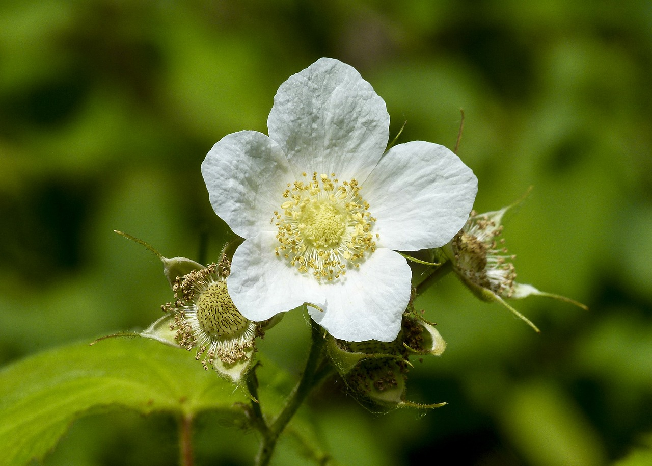 thimble berry blossom forest free photo