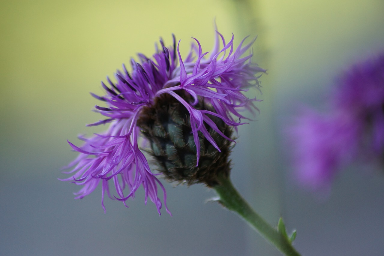 thistle flowers plant free photo
