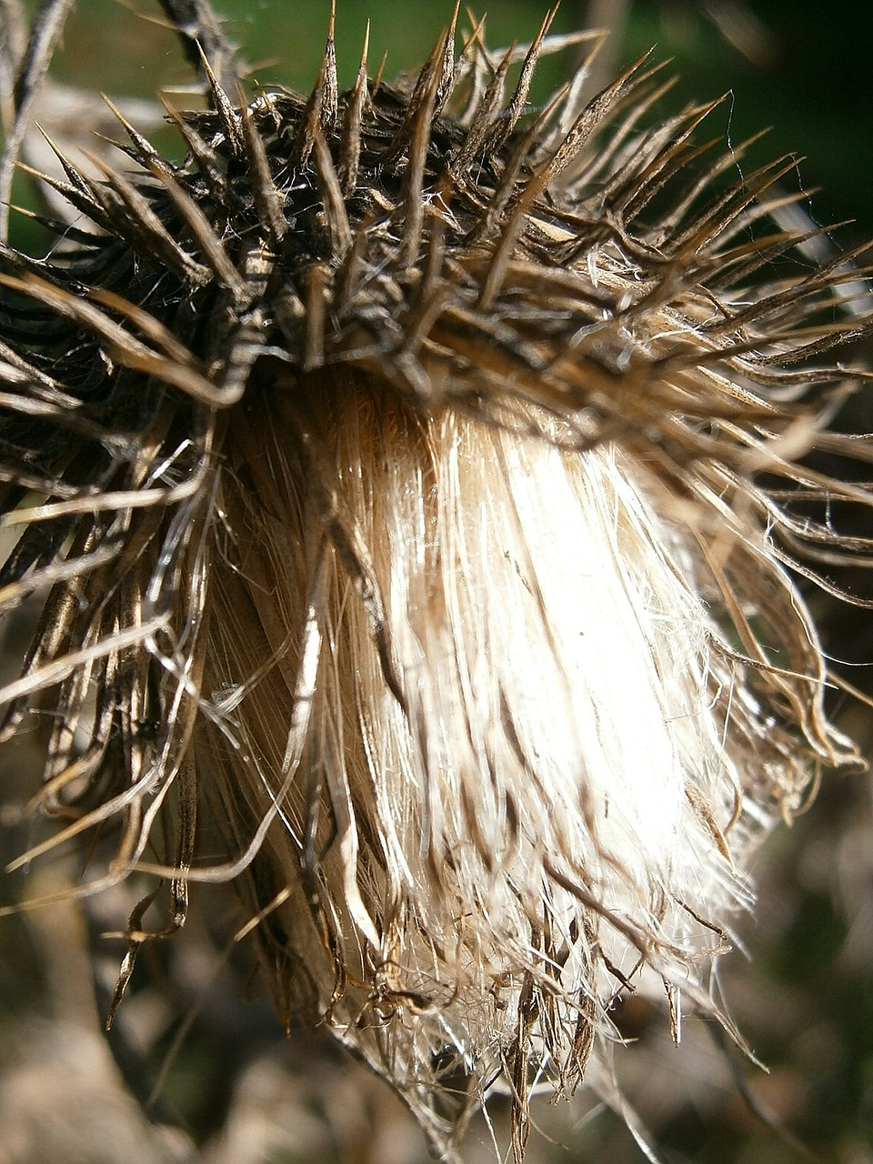 thistle milk thistle silybum free photo